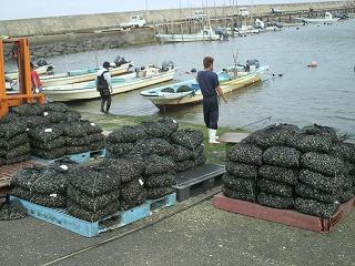 手掘り買付 in吉田港