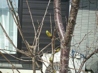 我が家の桜新芽
