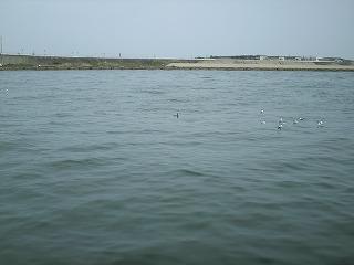 海鵜 VS カモメ
